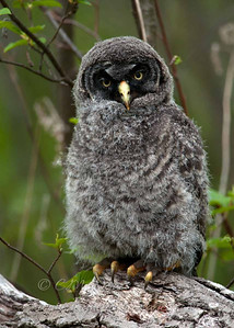 Great Gray Owl family