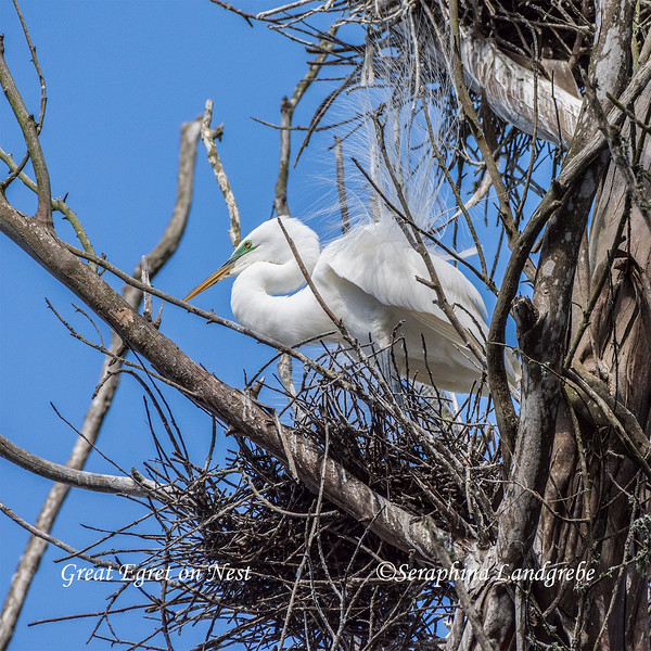 _DSC2774Egret on Nest.jpg