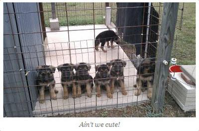 Sysco von Orumhaus #2 - Pups born April 2012