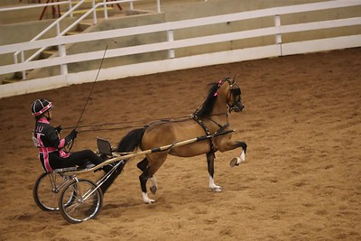116. Roadster Pony STAKE – Amateur/Junior Exhibitor