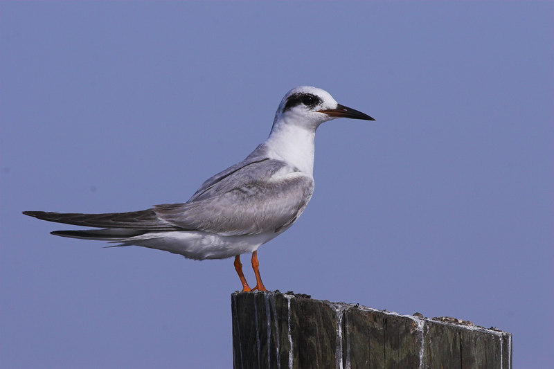 Forster's Tern waiting at Lake Kissimmee