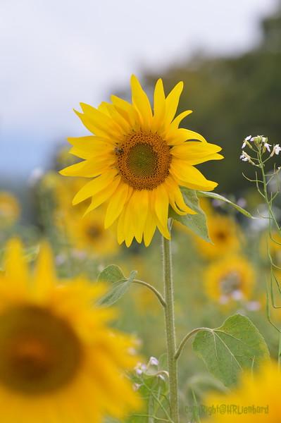 Sunflower Lonay_20092020 (69).JPG