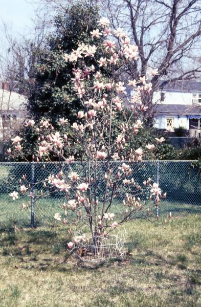 HCA-GII-004-Tulip Tree April 6, 1991.jpg