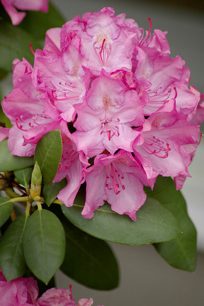 rhododendron _pink (9)r.jpg