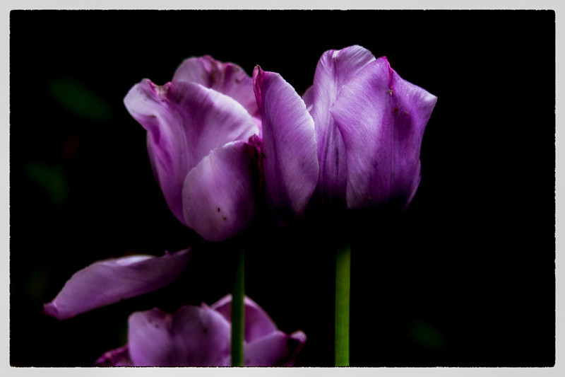 April 30 - Last remaining tulips.jpg