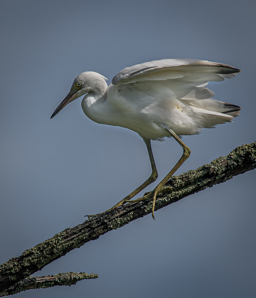 _5001992 Little Blue Heron juvenile.jpg