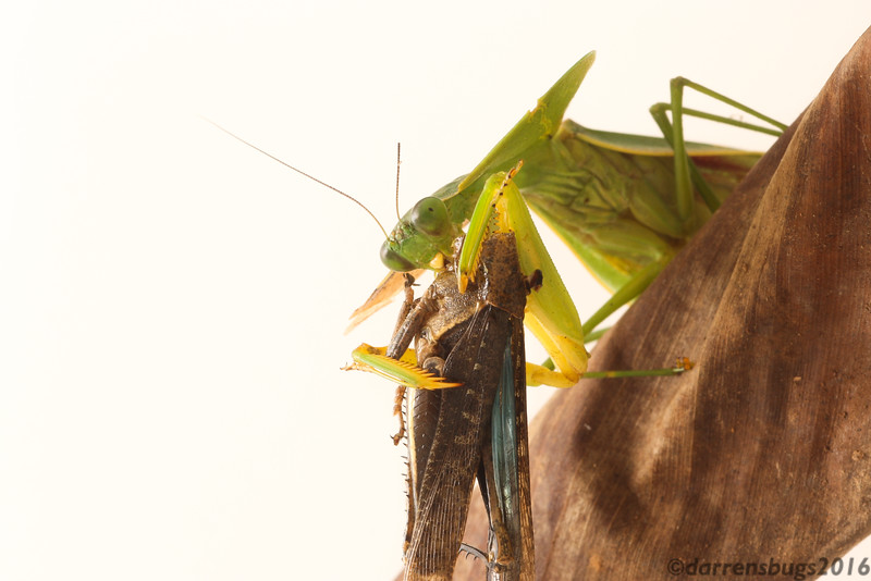"""A hooded mantis (Mantidae: genus Choeradodis) feeds on a grasshopper in Belize. This picture was taken using the """"white box"""" technique, wherein a box is built with white reflective material (e.g. posterboard) and the flash is moved off-camera to diffuse light evenly around the subject."""