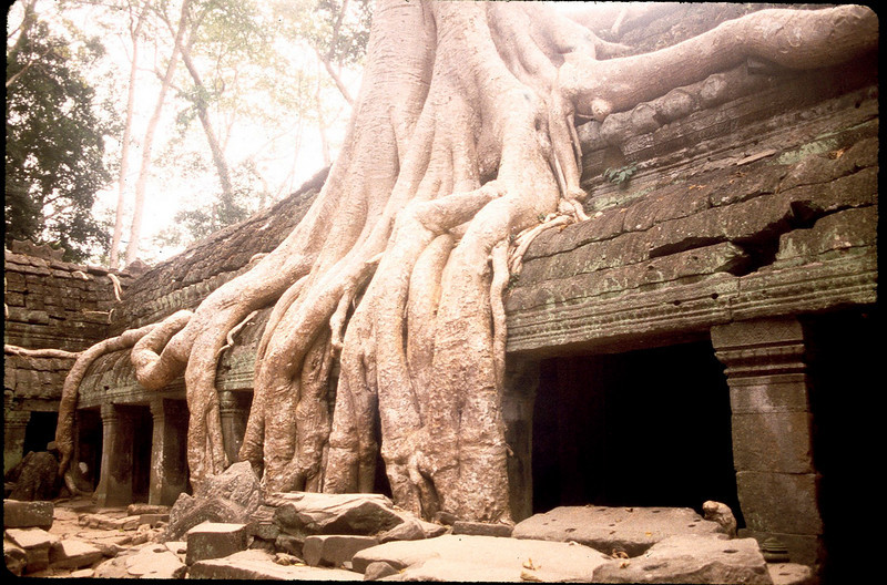 parasitic trees at the Bayon temple