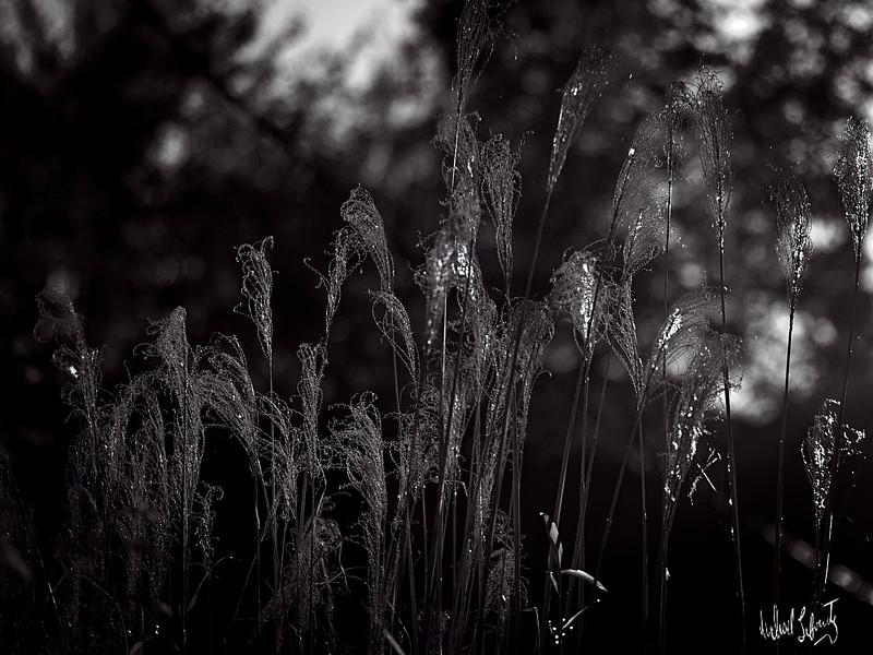 reed sin the wind #2 b&w 2020