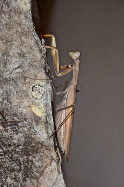 Praying Mantis, Bulgaria