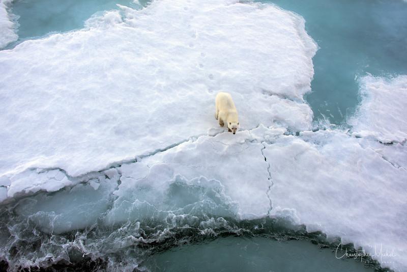 Polar Bear on Difficult Ice.jpg
