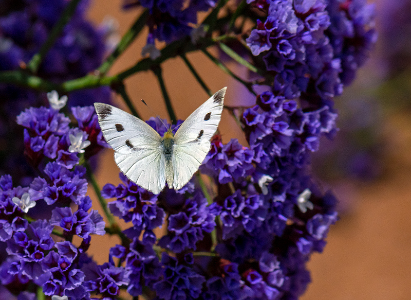 Cabbage White Butterfly-2660.jpg