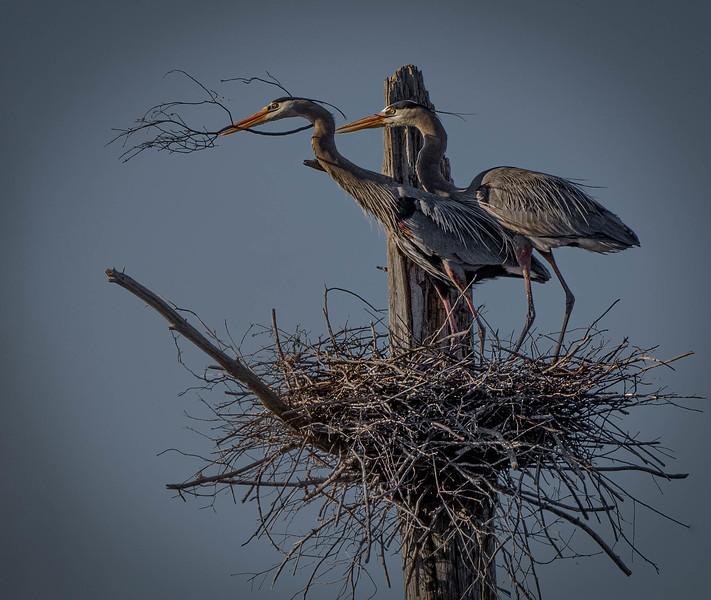 _5007743-Edit Great Blue Heron pair.jpg