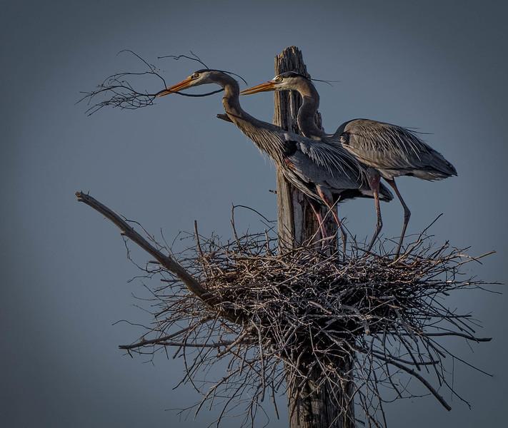 _5007743-Edit Great Blue Heron pair.jpg