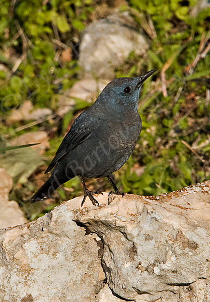 Blue Rock Thrush Galilee_Israel_1.08_Bartov.jpg