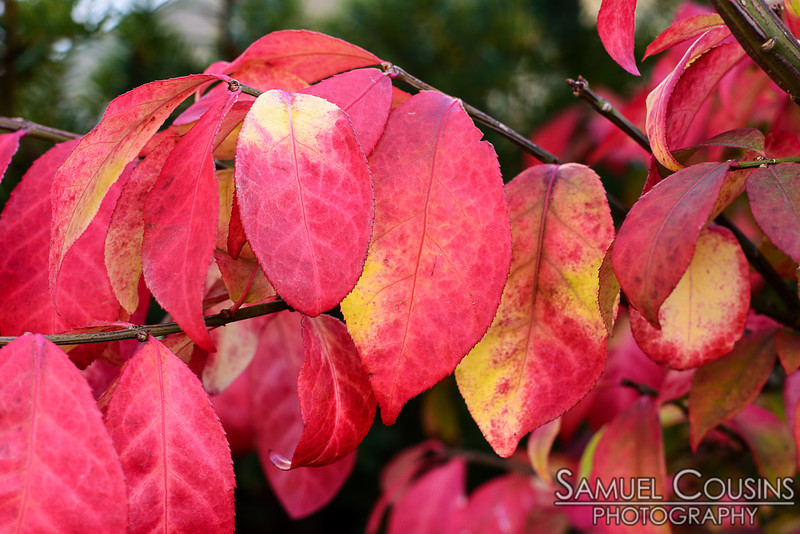 Leaves turning red as the weather gets colder.
