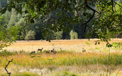 Deer grazing in Cook's Meadow