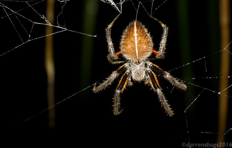Orb weaver from Panama.