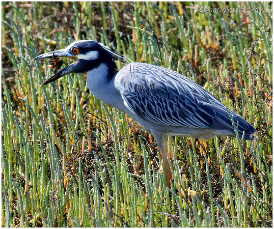 YELLOW-CROWNED NIGHT-HERON - IMPERIAL BEACH, CA