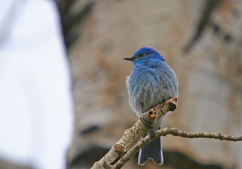 A male bluebird perches a few feet away from his nest
