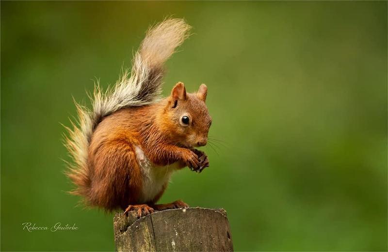 Red Squirrels.jpg