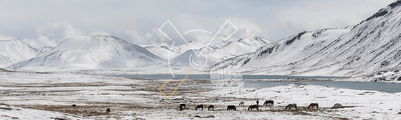 Horses grazing next to a river on a high mountain landscape with snow tops of the tian shan at the Sook Ashuusu Pass