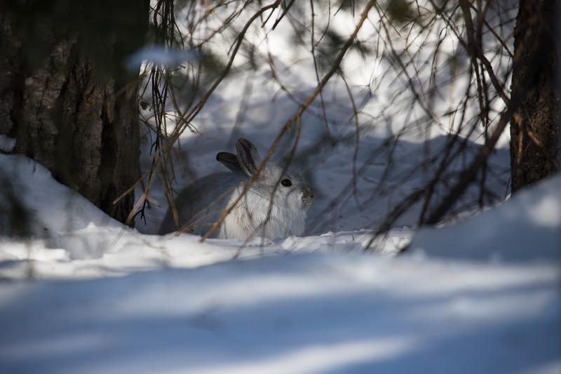 snowshoe Hare-3579.jpg