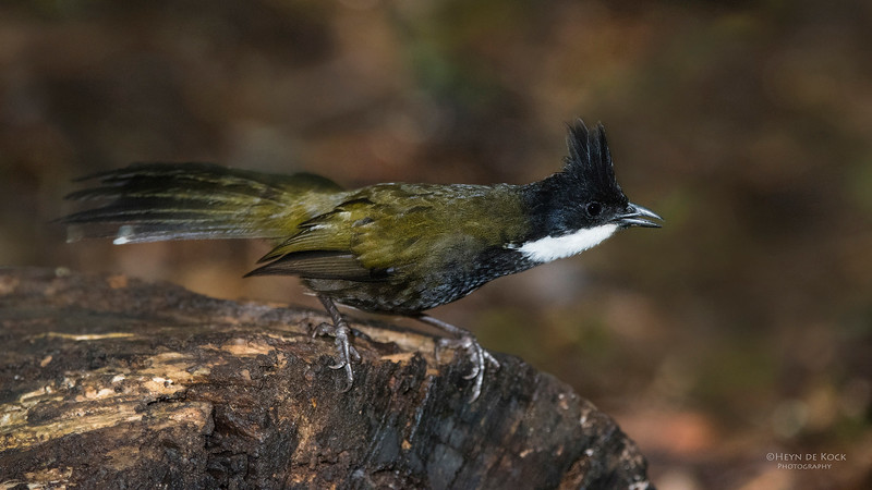 Eastern Whipbird, Lamington NP, QLD, Dec 2014.jpg