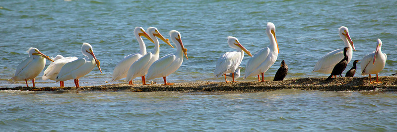 Another strand occupied by white pelicans, cormorants, and a gull.