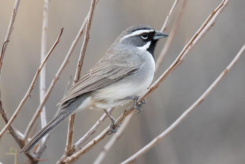 Black-throated Sparrow Big Bend NP 2020-3.jpg