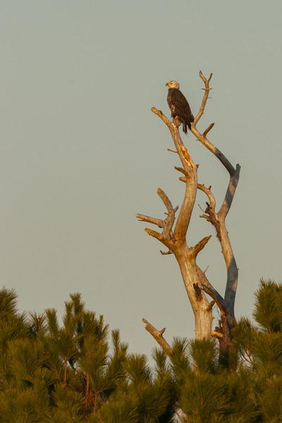 Bald Eagle in Snag.jpg