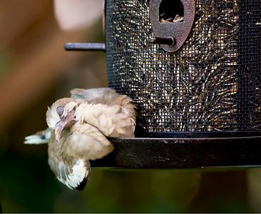 Pigeons and Doves (<em>Columbiformes</em>)
