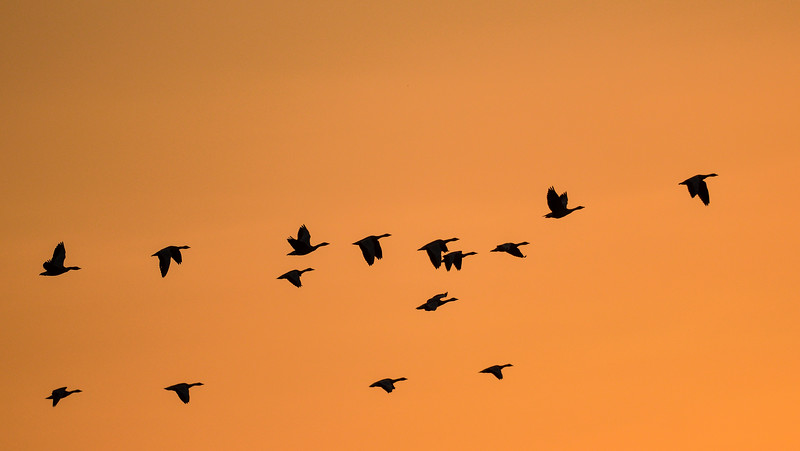 Soar-high-bar-headed-geese-magadi.jpg