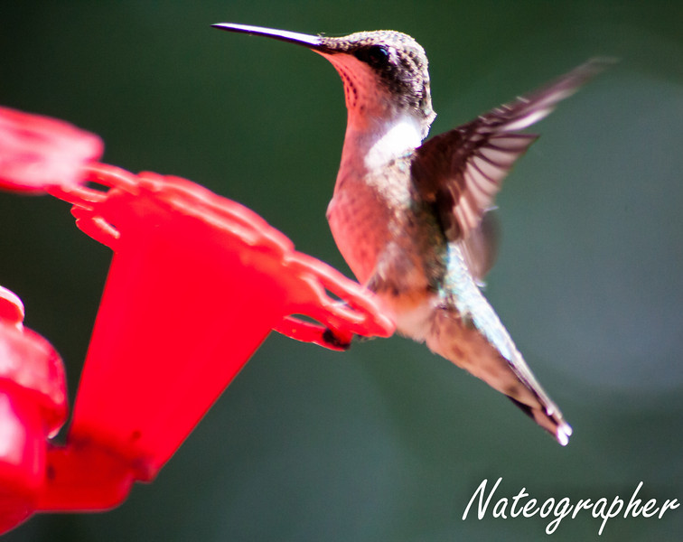 HummingBirds-4255.jpg