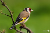 Pretty colours of a goldfinch