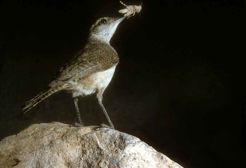 Rock Wren (Salpinctes obsoletus), Big Bend National Park, Texas, 1958