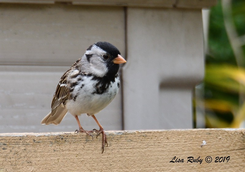 Harris's Sparrow - 5/2/2019 - Backyard Sabre Springs
