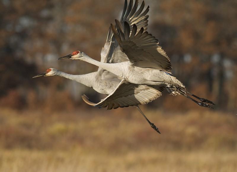 Pair of Sandhill Cranes in flight Crex Meadows [October near Grantsburg, Wisconsin]