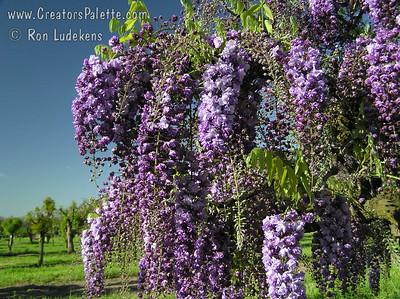Wisteria floribunda 'Violacea Plena' - Black Dragon Wisteria