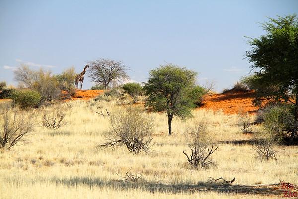 Game drive Kalahari desert, Namibia: giraffe
