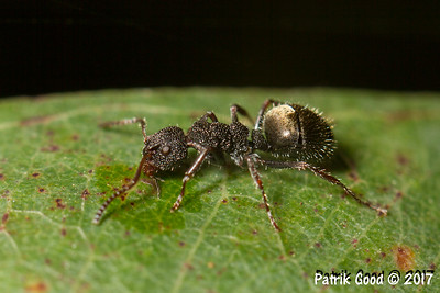 Tuberculate Doublegaster Ant