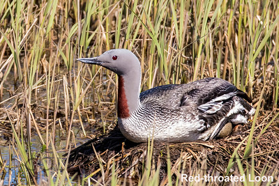 Red-throated Loon, Nome AK, USA