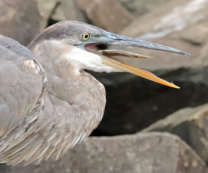 Great blue heron with fish 2