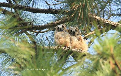 Owls @ Hobe Sound