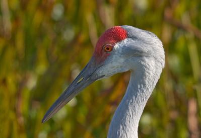 Cranes, Storks and Ibises