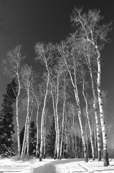 Wintering Birch no 2 BW BUZZ_resize.jpg