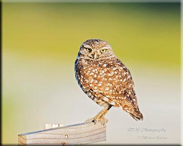 2014 Cape Coral, FL Burrowing Owls