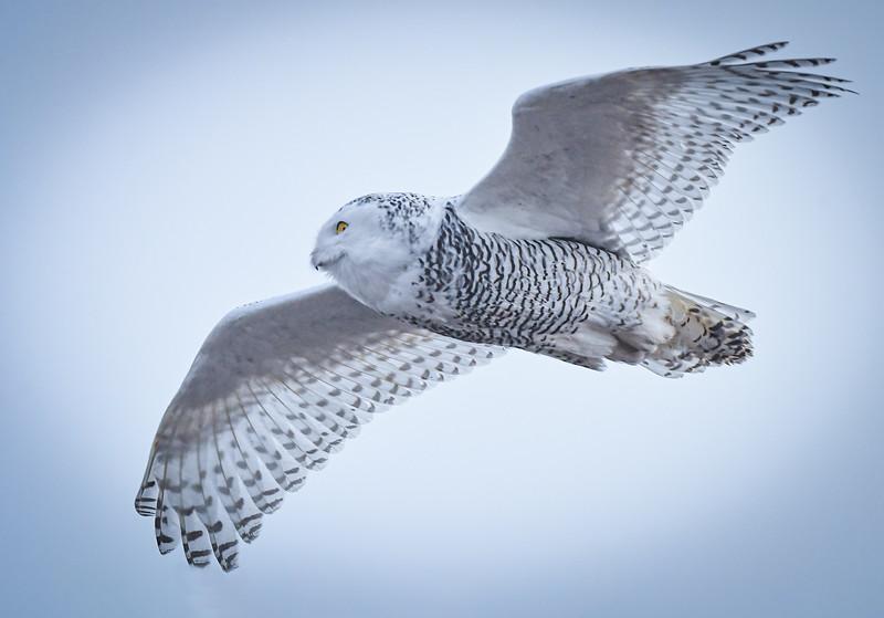 DSC_1199-Edit Snowy Owl on her way.jpg