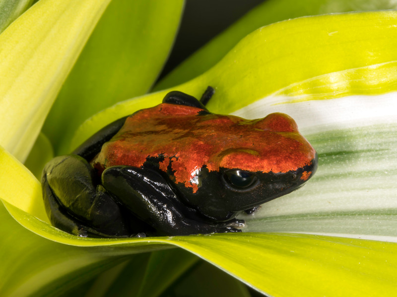Splash-backed poison dart frog (Dendrobates galactonotus), captive