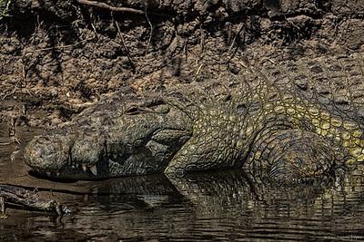 Nilkrokodille (Nile crocodile)